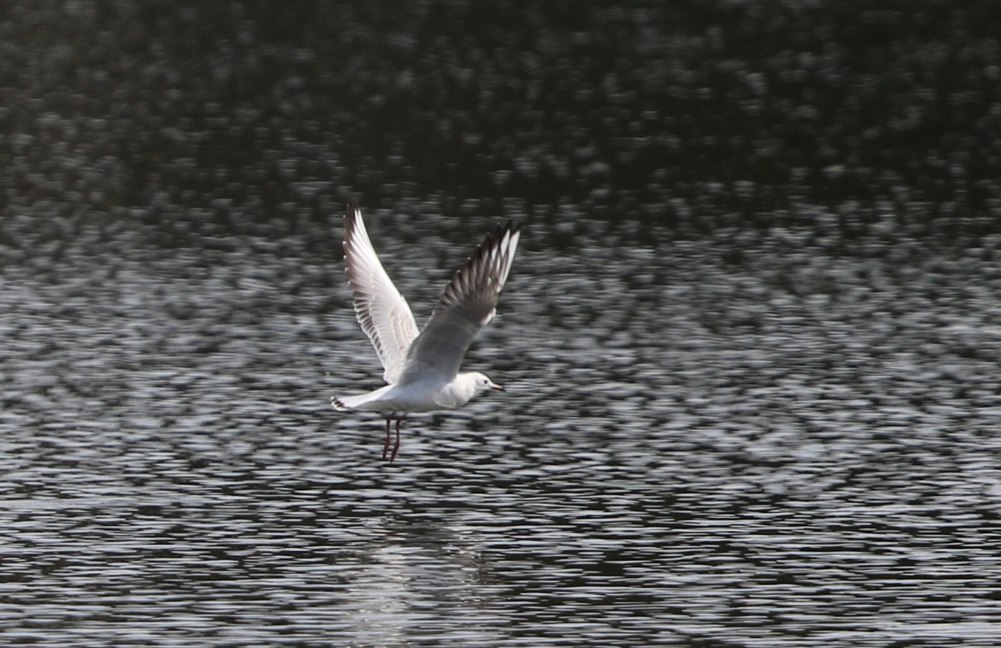 MFの沼でユリカモメ&アジサシに逢えた_f0239515_16183867.jpg