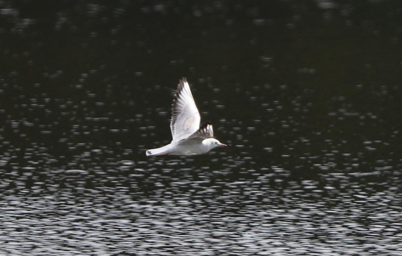 MFの沼でユリカモメ&アジサシに逢えた_f0239515_16185744.jpg