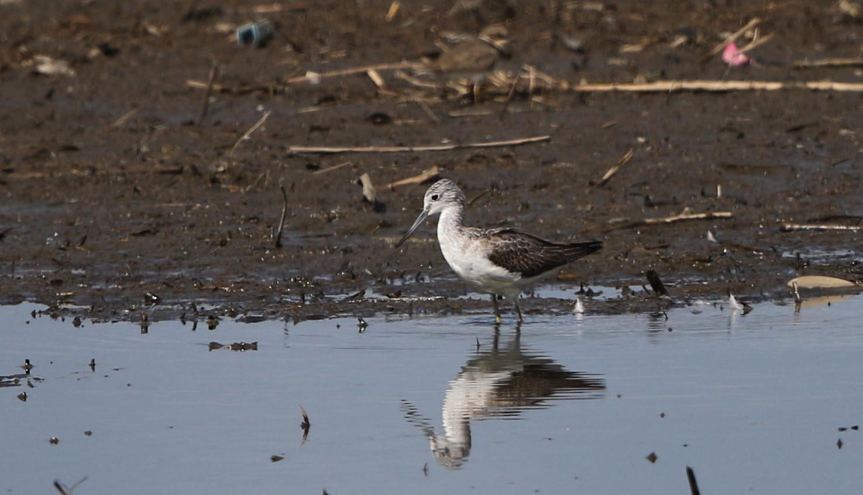 MFの沼でユリカモメ&アジサシに逢えた_f0239515_16212916.jpg