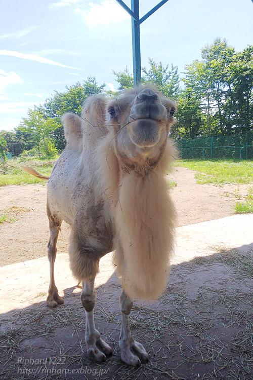 2019.8.13 東北サファリパーク☆ラクダのカリンちゃん【Camel】_f0250322_21254546.jpg