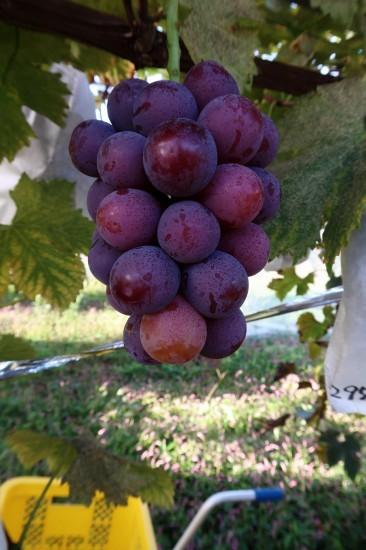 ピオーネまだ収穫しいてます。_d0336530_20410639.jpg