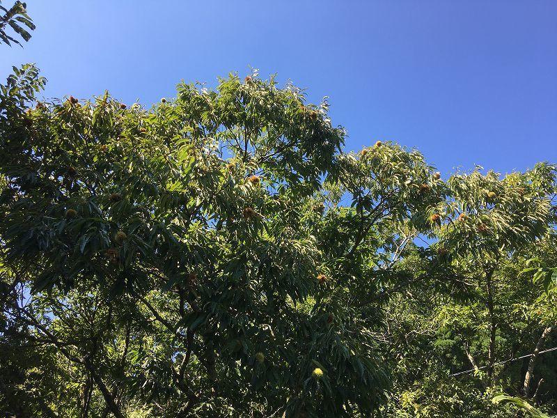栗の収穫はまもなく終了します_a0114743_14044438.jpg