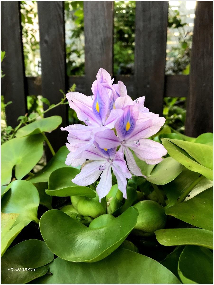 *ホテイアオイが咲きました*_d0317115_20252024.jpg