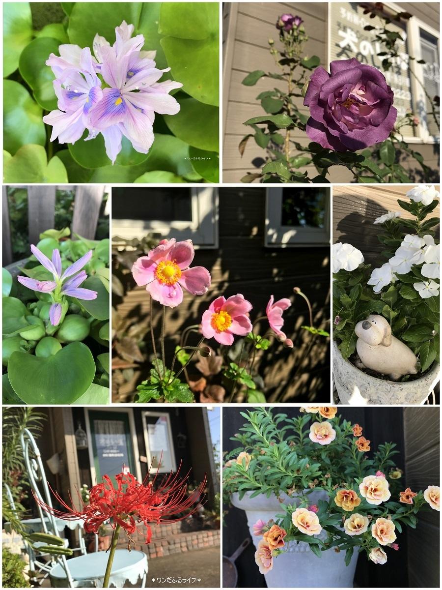 *ホテイアオイが咲きました*_d0317115_20252826.jpg