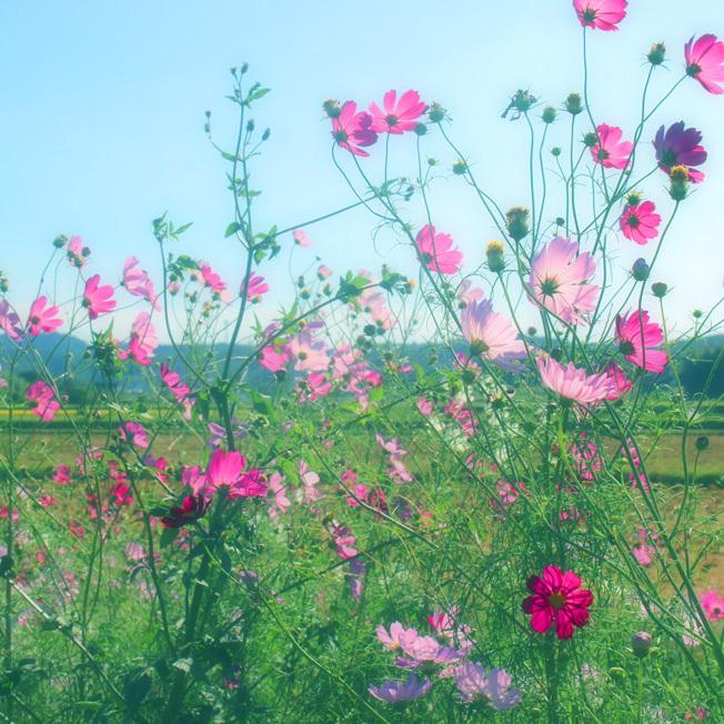 田んぼのあぜ道がロマンティック。名も無き「秋桜小路」_a0329820_14175585.jpg