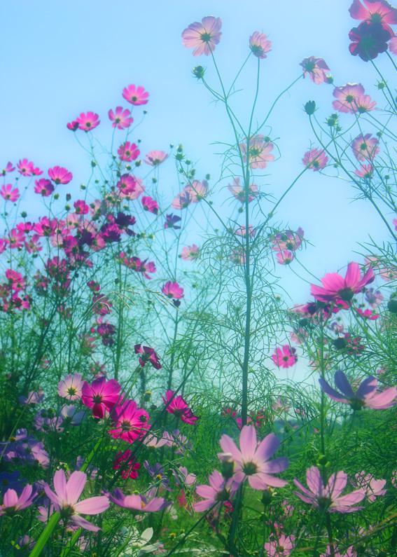田んぼのあぜ道がロマンティック。名も無き「秋桜小路」_a0329820_14175961.jpg