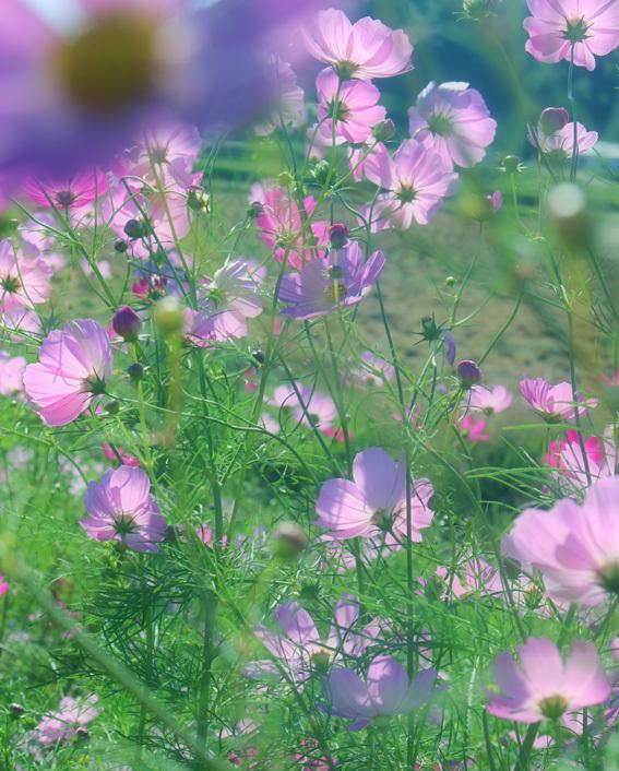 田んぼのあぜ道がロマンティック。名も無き「秋桜小路」_a0329820_14180276.jpg