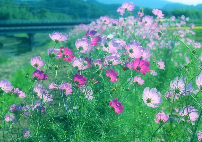 田んぼのあぜ道がロマンティック。名も無き「秋桜小路」_a0329820_14181348.jpg