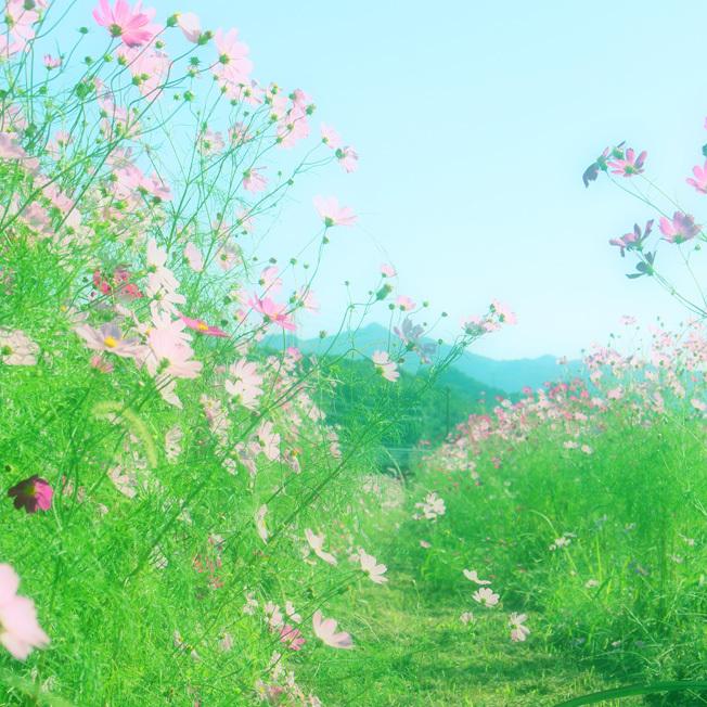 田んぼのあぜ道がロマンティック。名も無き「秋桜小路」_a0329820_14181645.jpg