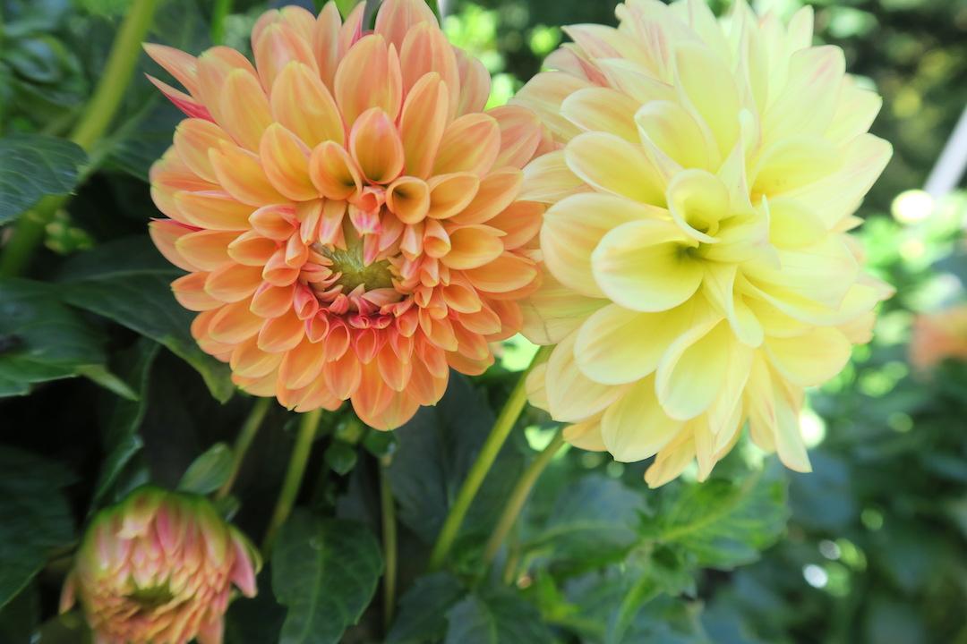10月8日はスマホ記念日、ダリア花咲くターラント邸庭園_f0234936_4364266.jpg