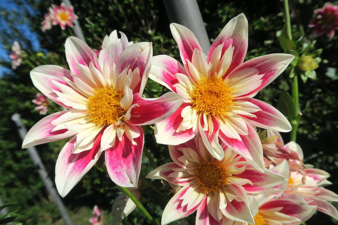 10月8日はスマホ記念日、ダリア花咲くターラント邸庭園_f0234936_5164178.jpg
