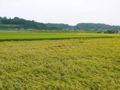 七城米 長尾農園 令和元年度の新米を先行予約受付中!! 美しすぎる田んぼの稲刈り2019(前編)_a0254656_17245560.jpg