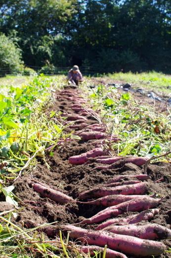 サツマイモの収穫2019_c0110869_13201416.jpg