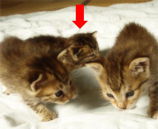 3猫十色(生後2週間の子猫)_a0389088_17303737.jpg