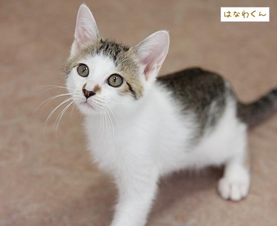 ハンサム子猫「はなわくん」_a0389088_17371887.jpg