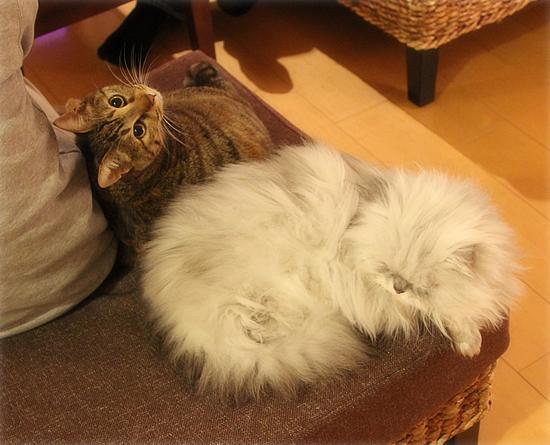 オシャレな猫(猫虐待の署名募集)_a0389088_17385030.jpg
