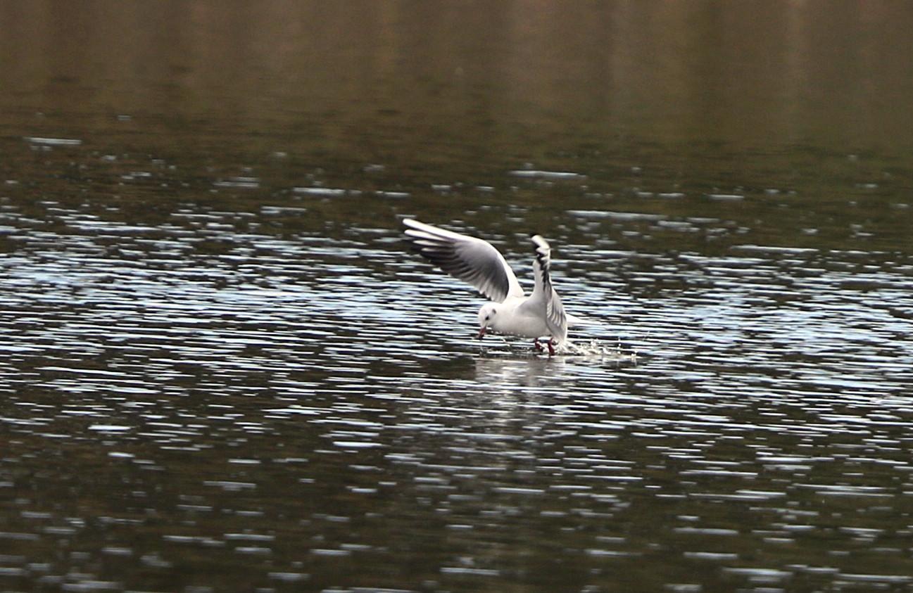 MFの沼でユリカモメ&アジサシに逢えた_f0239515_19282462.jpg