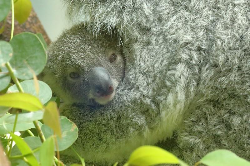 コアラのニーナの赤ちゃんが、時々お顔を見せてくれます  旅