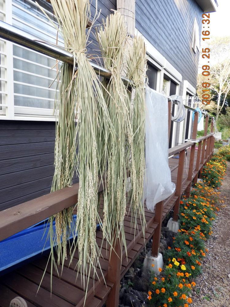 我が家の稲刈り_d0039331_12430366.jpg