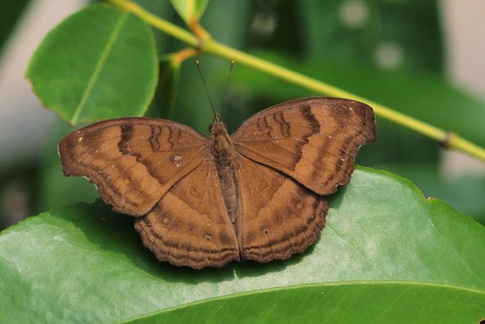 ランカウイ島で見たその他の蝶_d0149245_15233580.jpg