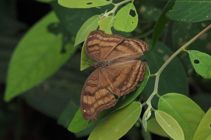 ランカウイ島で見たその他の蝶_d0149245_15234104.jpg