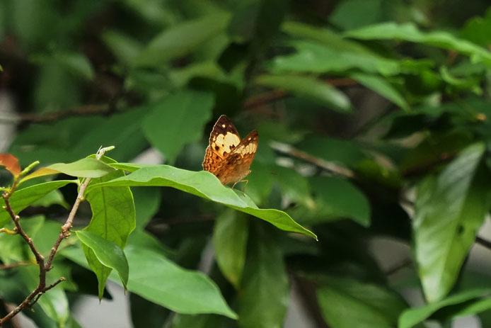 ランカウイ島で見たその他の蝶_d0149245_15234539.jpg