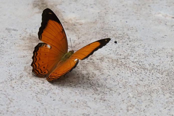 ランカウイ島で見たその他の蝶_d0149245_15234951.jpg
