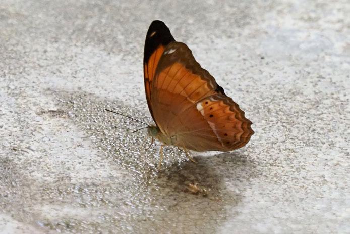 ランカウイ島で見たその他の蝶_d0149245_15235299.jpg