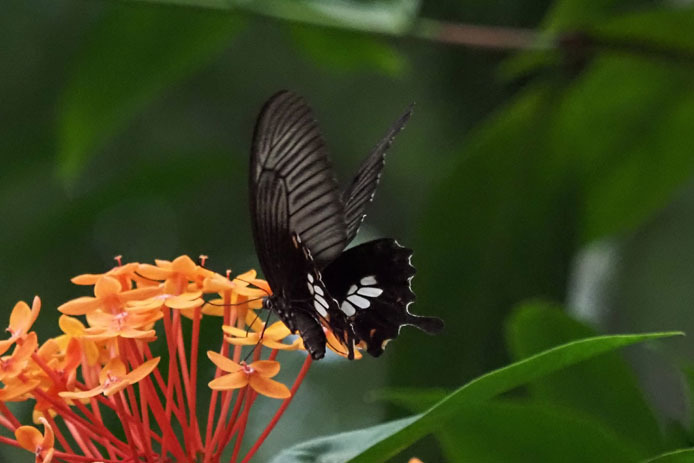 ランカウイ島で見たその他の蝶_d0149245_15235874.jpg