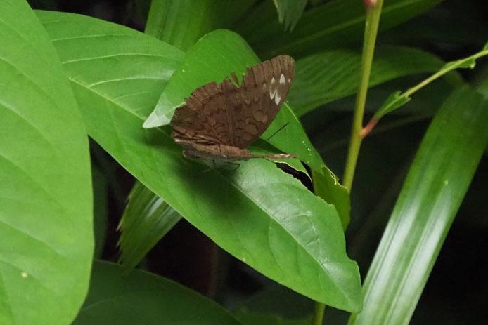 ランカウイ島で見たその他の蝶_d0149245_15240201.jpg