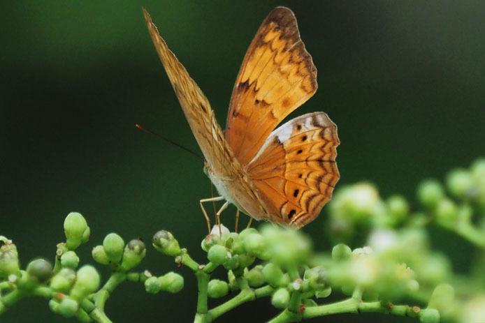 ランカウイ島で見たその他の蝶_d0149245_15240606.jpg