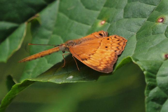ランカウイ島で見たその他の蝶_d0149245_15241163.jpg