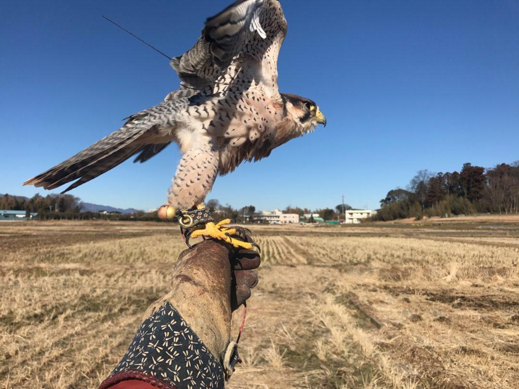 猛禽類のフライト トレーニングレッスン致します_c0132048_20213604.jpg