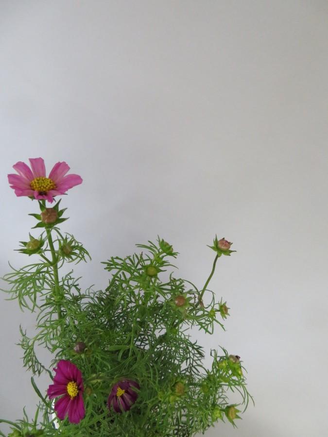 秋の花コスモスを楽しむ_f0329849_06300161.jpg