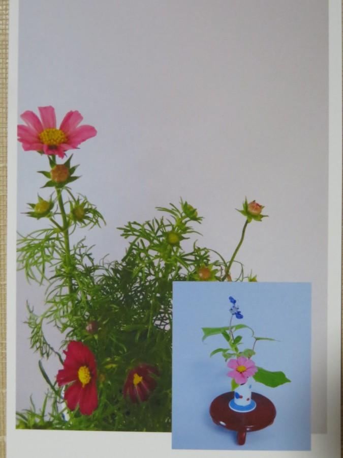 秋の花コスモスを楽しむ_f0329849_07563554.jpg