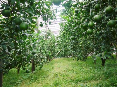 デコポン(肥後ポン) 令和元年度も12月下旬の収穫に向け果皮の色が抜け始めてきました!!_a0254656_16361076.jpg