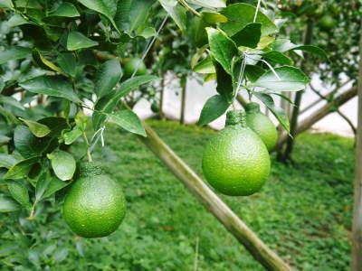 デコポン(肥後ポン) 令和元年度も12月下旬の収穫に向け果皮の色が抜け始めてきました!!_a0254656_16385271.jpg