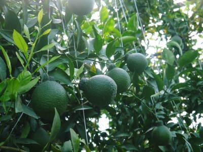 デコポン(肥後ポン) 令和元年度も12月下旬の収穫に向け果皮の色が抜け始めてきました!!_a0254656_16404542.jpg