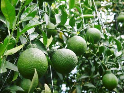 デコポン(肥後ポン) 令和元年度も12月下旬の収穫に向け果皮の色が抜け始めてきました!!_a0254656_16415614.jpg