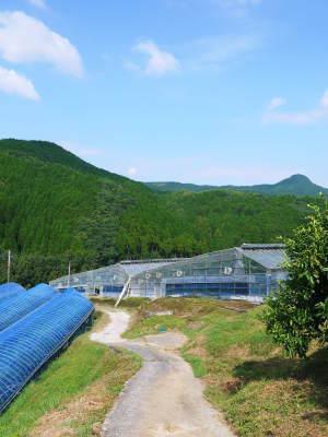 デコポン(肥後ポン) 令和元年度も12月下旬の収穫に向け果皮の色が抜け始めてきました!!_a0254656_16441235.jpg
