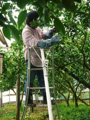 デコポン(肥後ポン) 令和元年度も12月下旬の収穫に向け果皮の色が抜け始めてきました!!_a0254656_16504355.jpg
