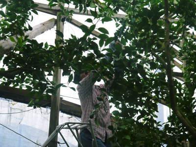 デコポン(肥後ポン) 令和元年度も12月下旬の収穫に向け果皮の色が抜け始めてきました!!_a0254656_16520683.jpg