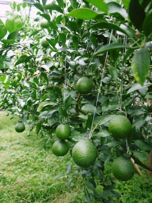 デコポン(肥後ポン) 令和元年度も12月下旬の収穫に向け果皮の色が抜け始めてきました!!_a0254656_16540908.jpg