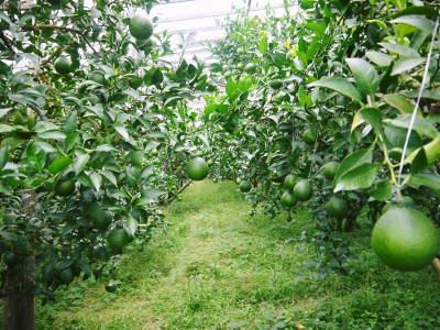 デコポン(肥後ポン) 令和元年度も12月下旬の収穫に向け果皮の色が抜け始めてきました!!_a0254656_16564951.jpg
