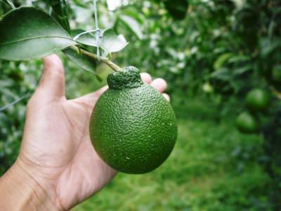 デコポン(肥後ポン) 令和元年度も12月下旬の収穫に向け果皮の色が抜け始めてきました!!_a0254656_16592404.jpg
