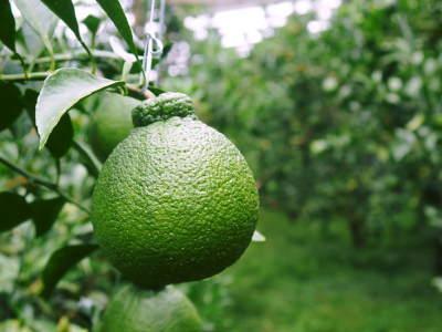 デコポン(肥後ポン) 令和元年度も12月下旬の収穫に向け果皮の色が抜け始めてきました!!_a0254656_17031041.jpg