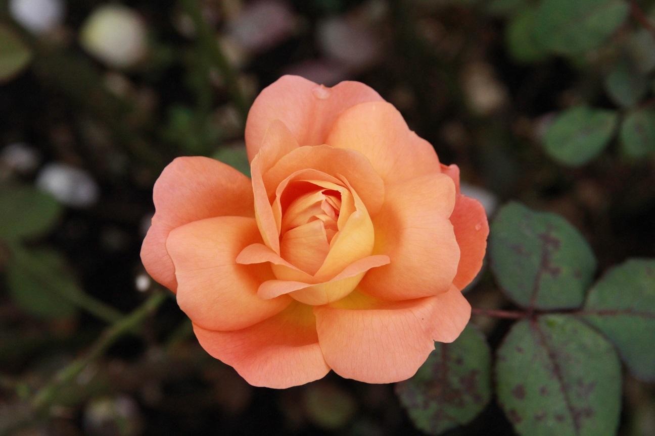 今日は家から出てはいけません ~レイクガーデンの薔薇~_a0107574_06584873.jpg