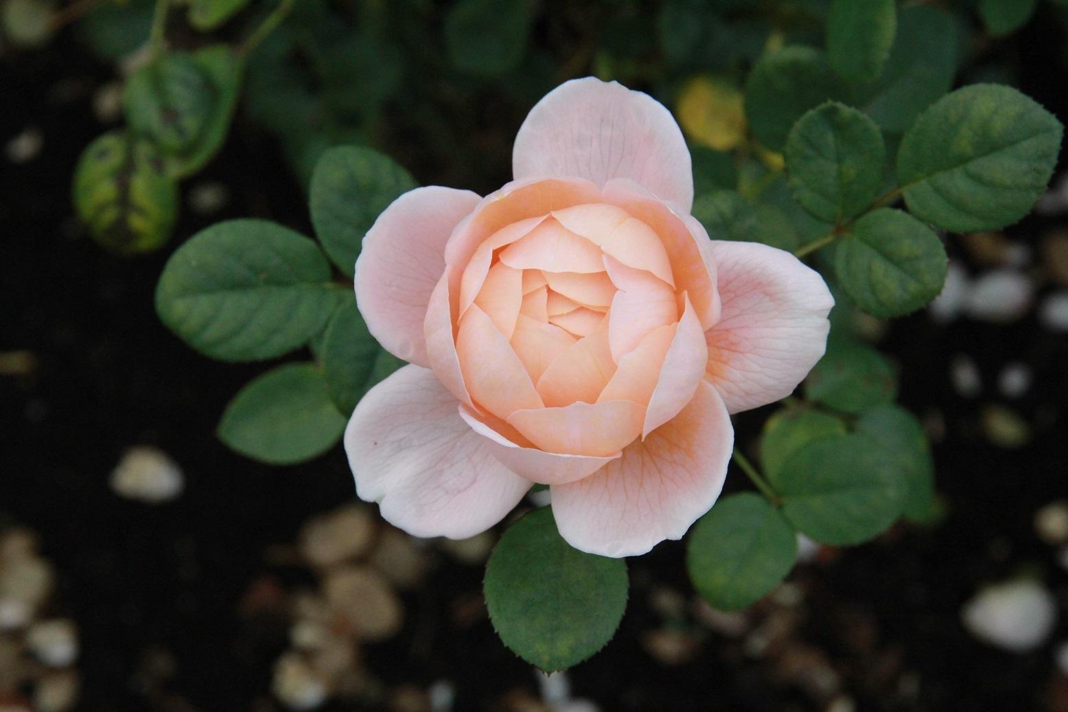 今日は家から出てはいけません ~レイクガーデンの薔薇~_a0107574_06585746.jpg