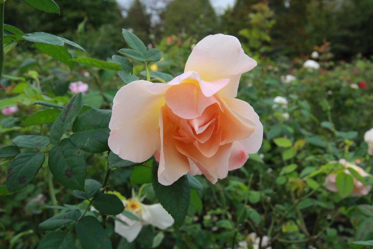 今日は家から出てはいけません ~レイクガーデンの薔薇~_a0107574_06591142.jpg