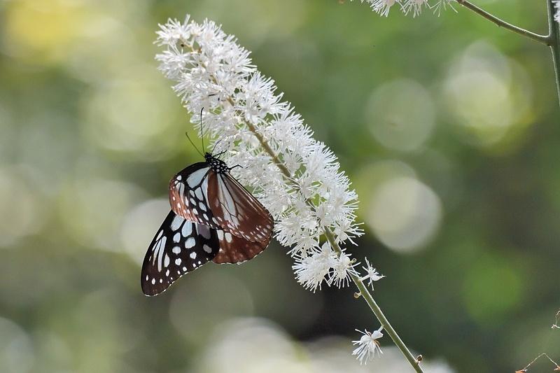 アサギマダラと秋のヒョウモンたち(2019/10/2)_f0031682_17220974.jpg